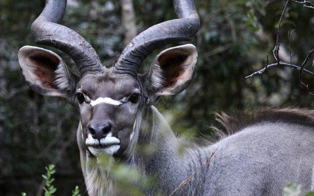 Pilanesburg Kudu